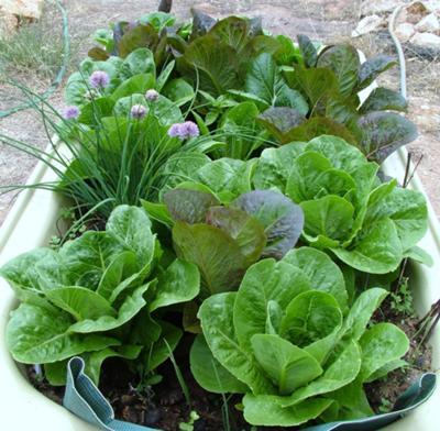An old bathtub makes a great spot for a salad garden! Spotted on HealthyHolisticLiving.com